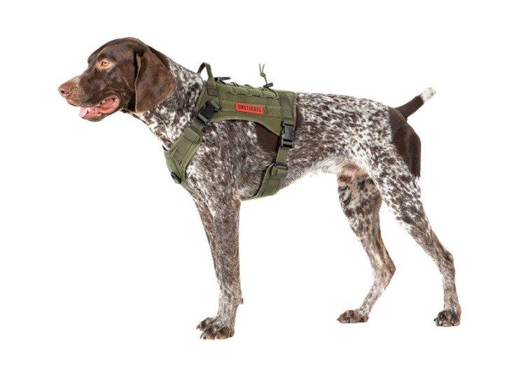 Chien portant un harnais militaire pour le dressage et la promenade
